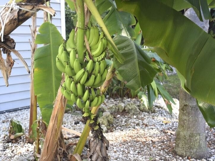 We grow bananas