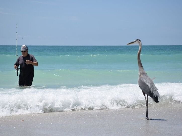 Fishing on our beach, blue herons always watching