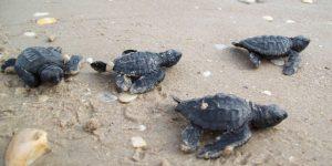 Anna Maria Island sea turtle hatch lings